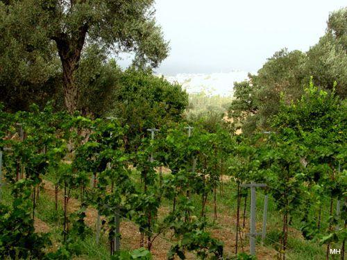 Là où la vigne serait née?