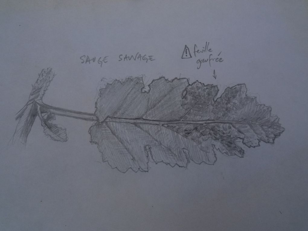 ORCHIDEES, FLORE SAUVAGE  ET  INITIATION  AU DESSIN BOTANIQUE