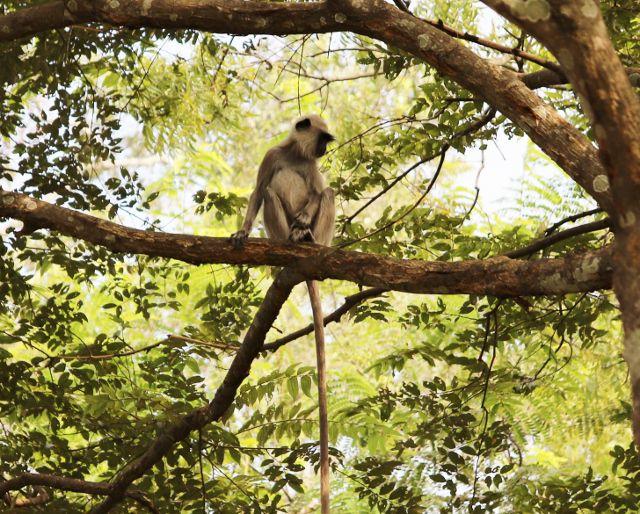 Singes, varans, chiens bord de route Sri Lanka