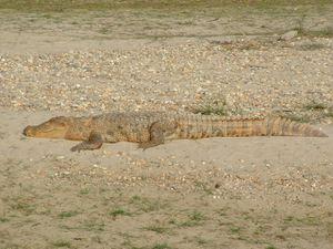 Oui oui, sur la deuxième photo, ce sont bien les empreintes du tigre... Quant aux photos de crocodiles, elles ne sont pas en super zoom : Bastien s'est vraiment approché très près... mais il paraît qu'ils n'attaquent jamais...