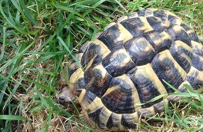 Célestin, tortue d'hermann acrobate