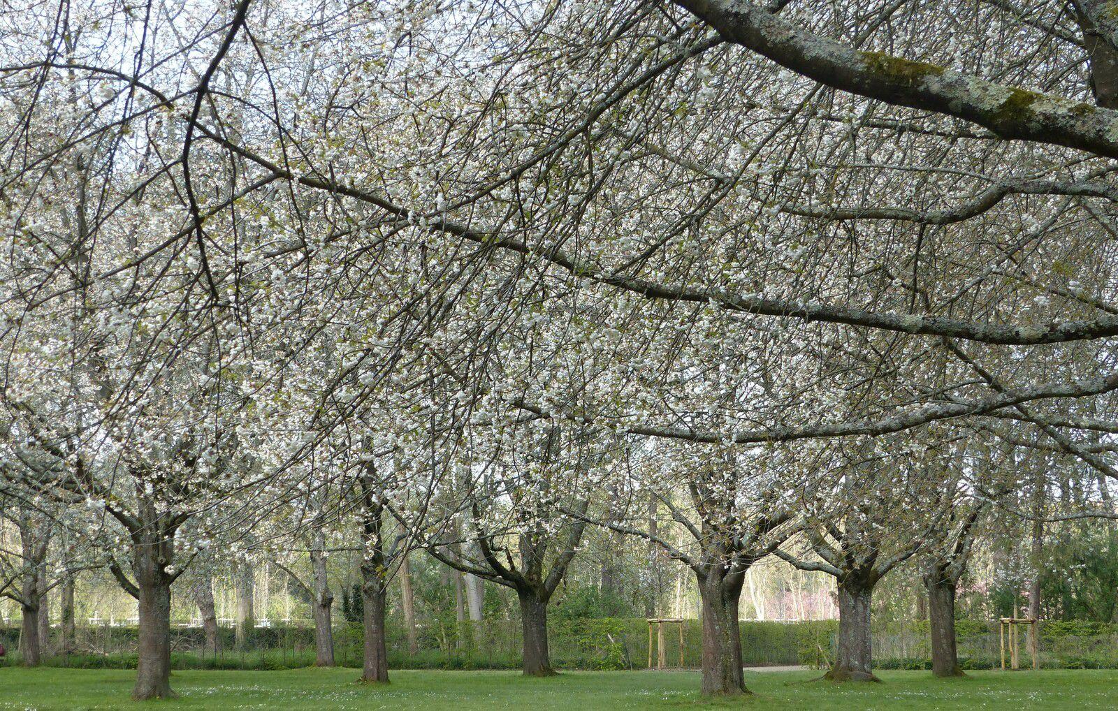 La semaine parfaite pour aller voir les cerisiers de Sceaux