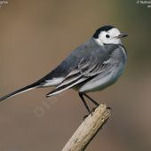 Bergeronnette grise - Motacilla alba - White Wagtail