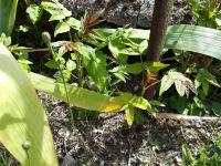 Une végétation luxuriante au-dessus du trottoir Boulevard Voltaire ... - Rue de la Mothe Chant-Dioux les racines de l'ailanthus on fait craqueler le mur de la propriété, les employés municipaux ont dû l'abattre cet hiver, depuis, l'ailante glanduleux repousse de plus belle dans les gravas ... - Ailante en fruit, la plante femelle possède un grand nombre de graines; - repousses d'ailante dans les iris et dans le mur de mon jardin...