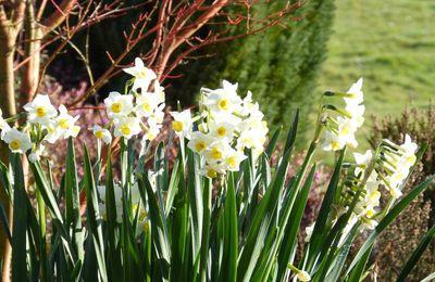 Narcisse multiflore.
