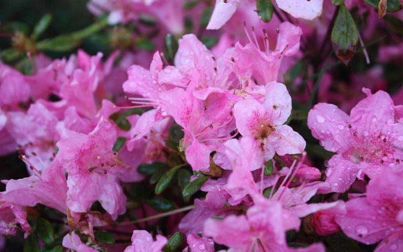 Azalée Japonaise Amoena