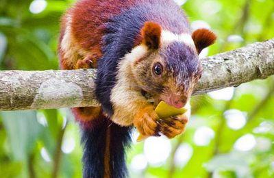 Les ecureuils géants multicolores en INDE!