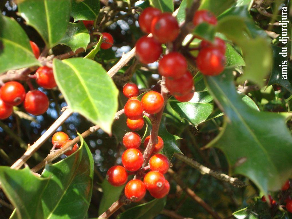 Certains fruits et baies rouges d'automne qui ne sont pas toutes comestibles