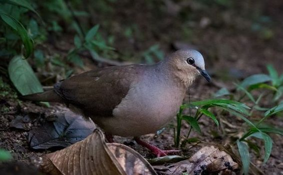 Colombe à front gris (Leptotila rufaxilla)