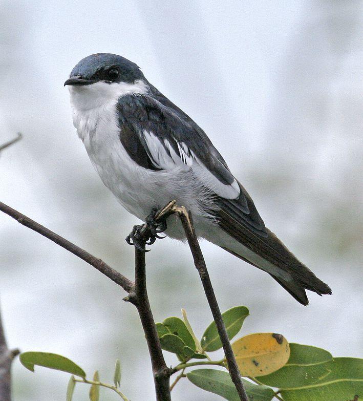 L'hirondelle à ales blanches (Tachycineta albiventer)