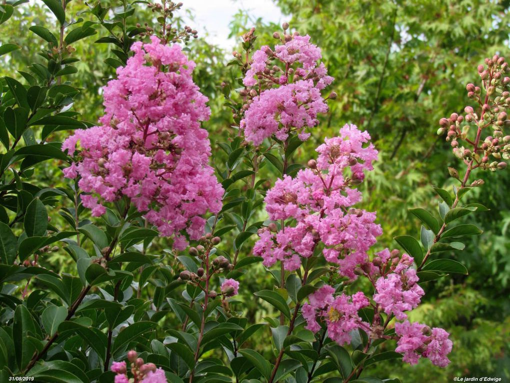 Lilas des Indes - Lagerstroemia indica