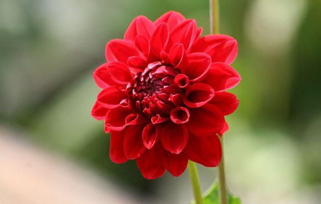 Bunga Merah Dalam Kehidupan Anda