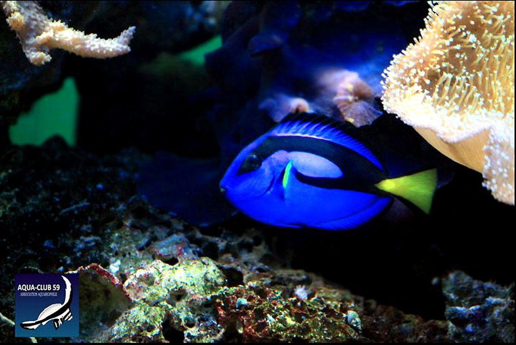 C'est cet aquarium de 720 litres que découvrent en premier les visiteurs du club. Sans nul doute le bac le plus haut en couleur.