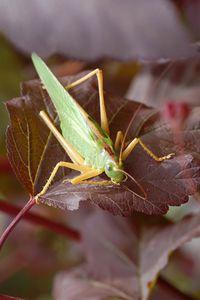 Tettigonia viridissima - grande sauterelle verte