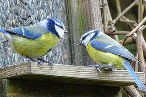 Reconfinement Acte 2/J 38-Des mangeoires et des oiseaux