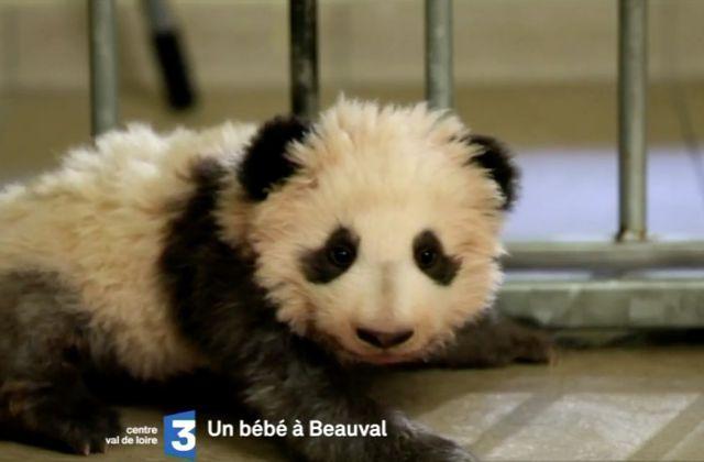 Présentation du bébé panda au public du zoo de Beauval : émission spéciale sur place, sur France 3.