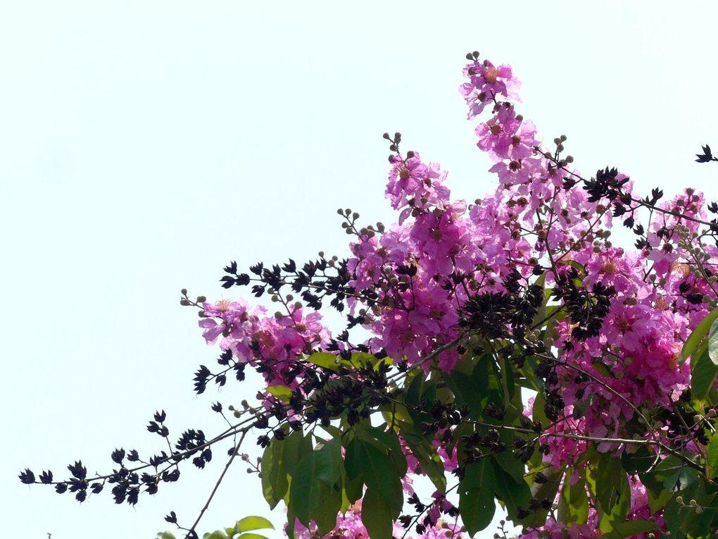 L'autre fleur de Songkran - Fleurs du jour (21-11)