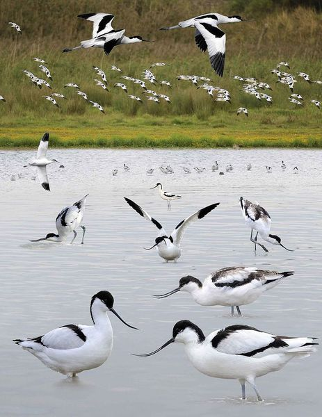 The avocet  is a large black and white wader in the avocet and stilt family, Recurvirostridae. They breed in temperate Europe and western and Central Asia.