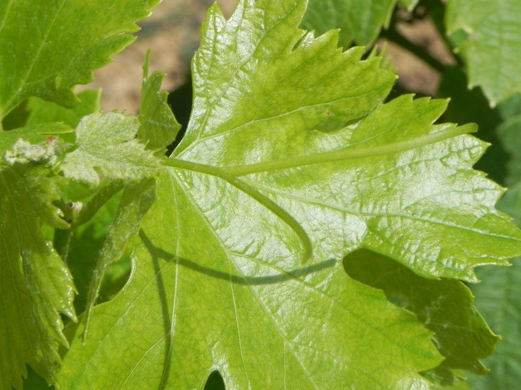 De la Syrah, des Carignans, des Grenaches...Les premiers raisins....