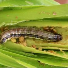 Une nouvelle étude sur les pertes de récoltes souligne le besoin urgent de variétés résistantes