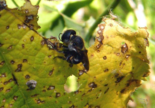 Osmia caerulescens en train de grignoter les feuilles d'une rose trémière - juin -