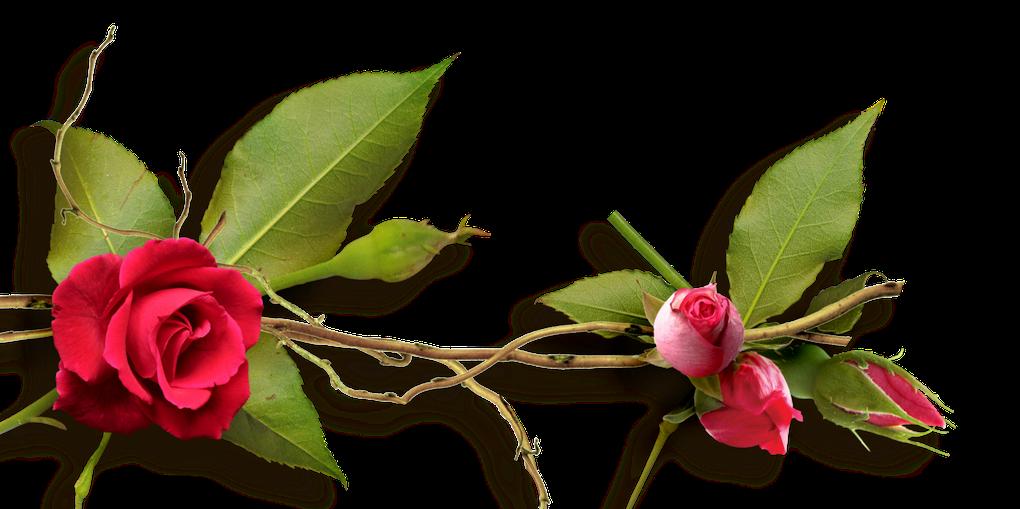 2-Jardin des roses (Clusters) - Garden of roses  (Clusters)
