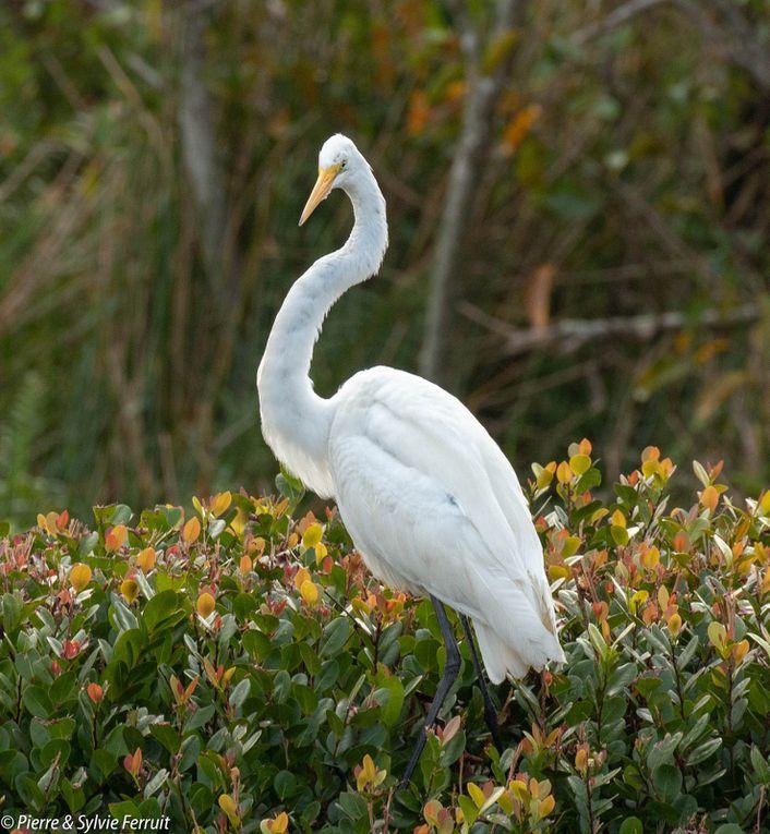Western great egret (Ardea alba egretta) - Grande Aigrette (Amérique) - Amerikaanse Grote Zilverreiger