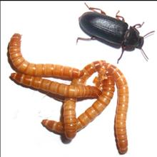 « Devenir éleveur d'insectes » sur Paysan Breton