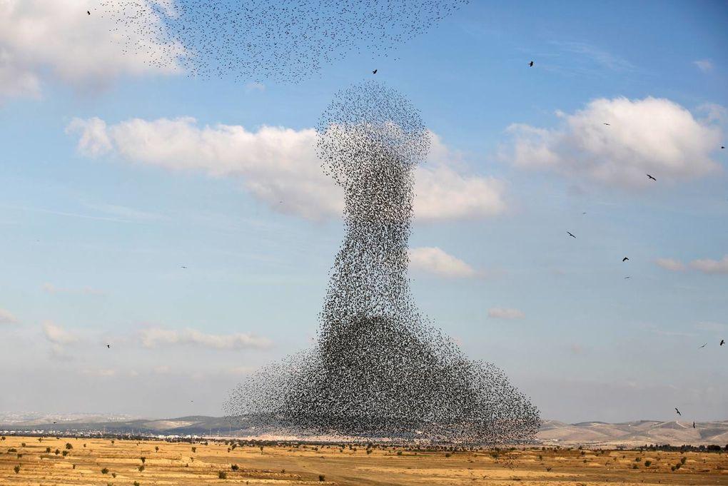 Espectacular coreografía en vuelo de los estorninos, en Zaratán, Valladolid.- El Muni.