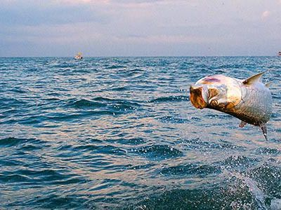 5 Life Stages of the Incredible Tarpon