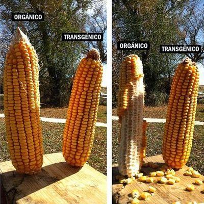 Orgánico o Transgénico?