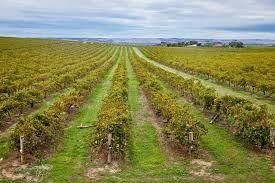 Viticulture en Australie Meridional