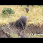 Ten ways to get down a muddy river bank (for elephants) - A MUST SEE!