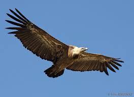 Les vautours nos amis !