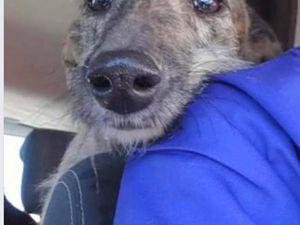 Lourdes lévrier galga ne à adopter chez sos chiens galgos