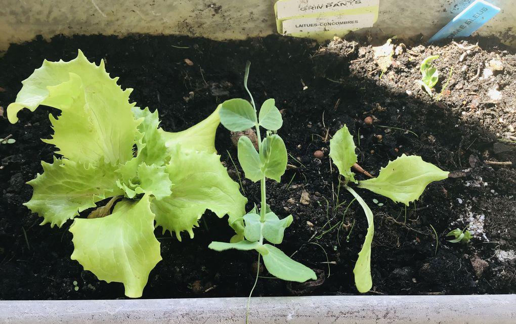 Ici, la jardinière pois-salade