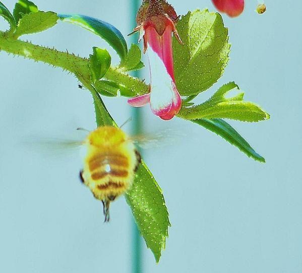 Album - l--abeille-europ-enne