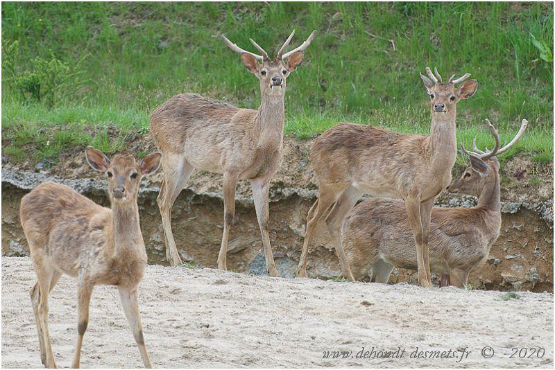 Les  jeunes mâles forment de petites hardes qui dépassent rarement une dizaine d'animaux. Le mâle dominant, celui qui porte les plus beaux bois, se tient très souvent à l'arrière du groupe, laissant un jeune ouvrir le chemin.