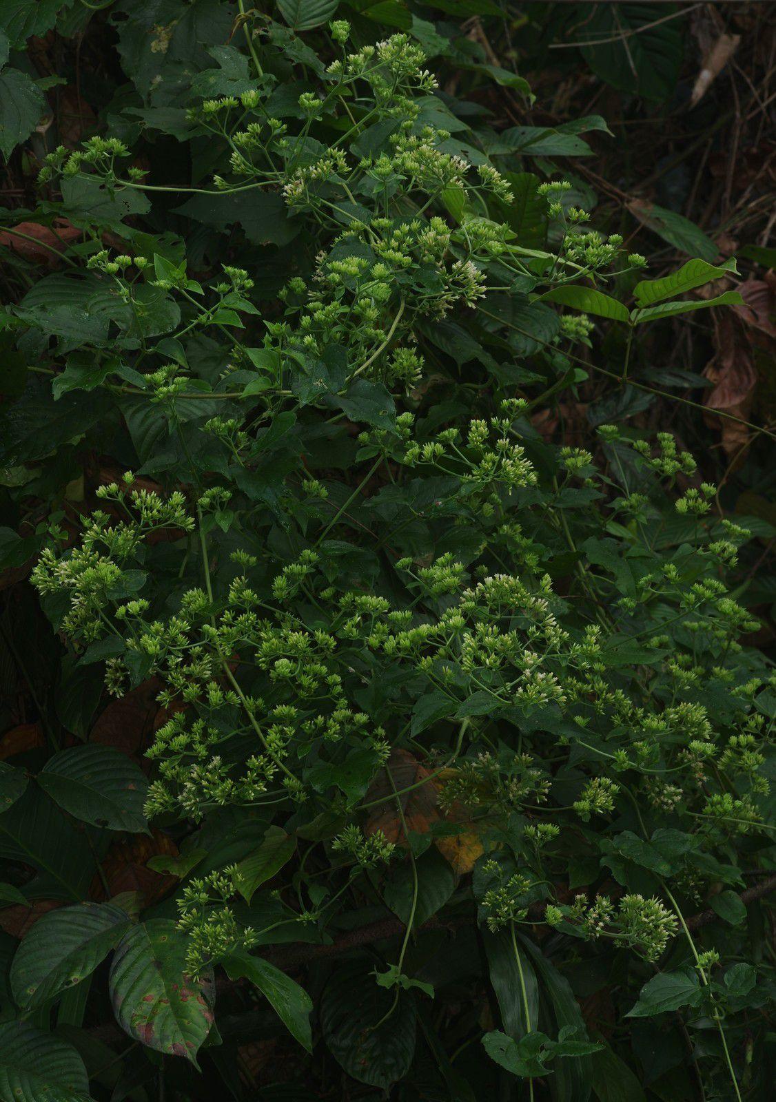 Mikania cordifolia (baume céleste)