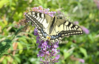 Machaon - Papilio machaon