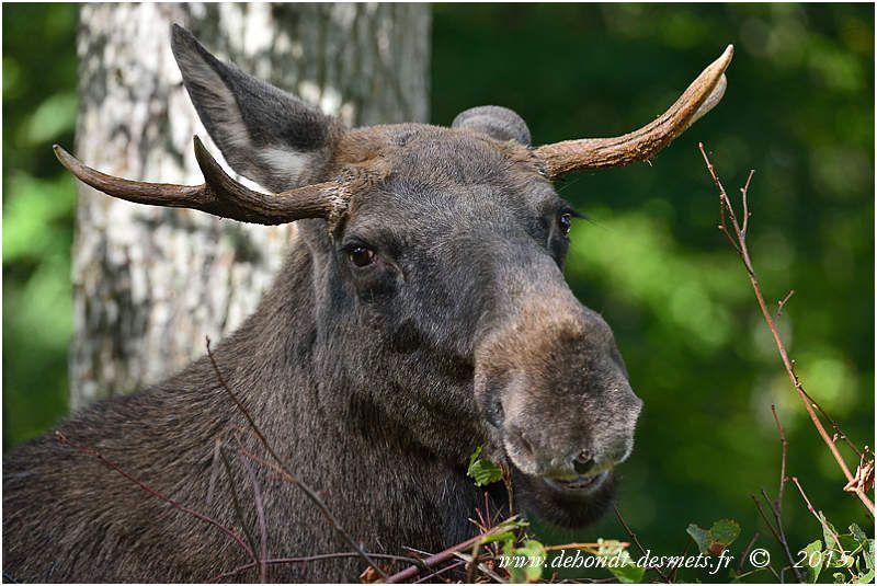 Les bois de l'élan mâle sont très variables de forme, souvent palmés, larges, parfois avec juste des pointes comme ceux des autres cervidés.