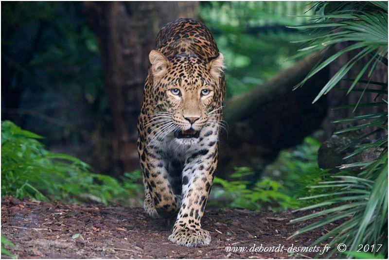 Les prédateurs du wapiti  en Asie ( le dhole, l'ours brun, le tigre de Sibérie, la panthère de Chine, la panthère des neiges et le lynx commun