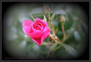 La vie en Rose..
