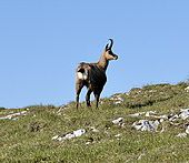 Chamois - Wikipédia