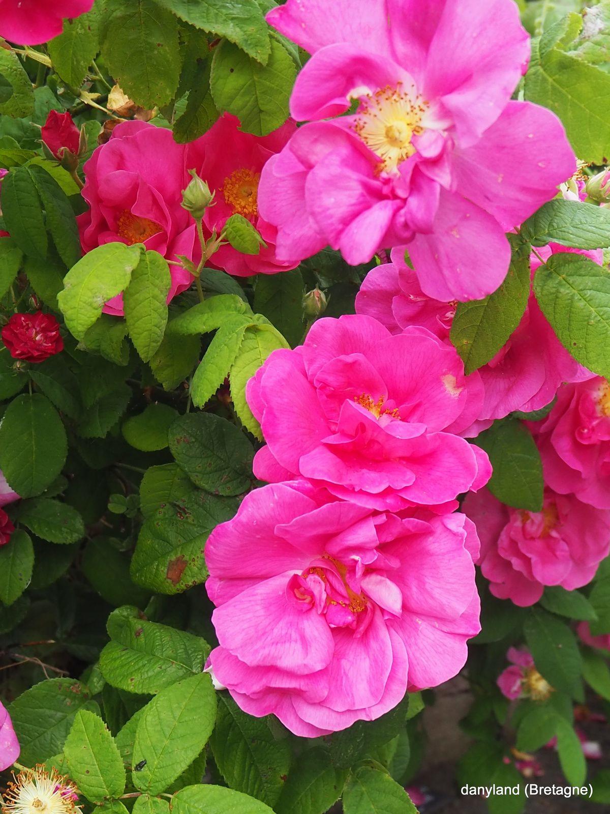 quelques roses du jour