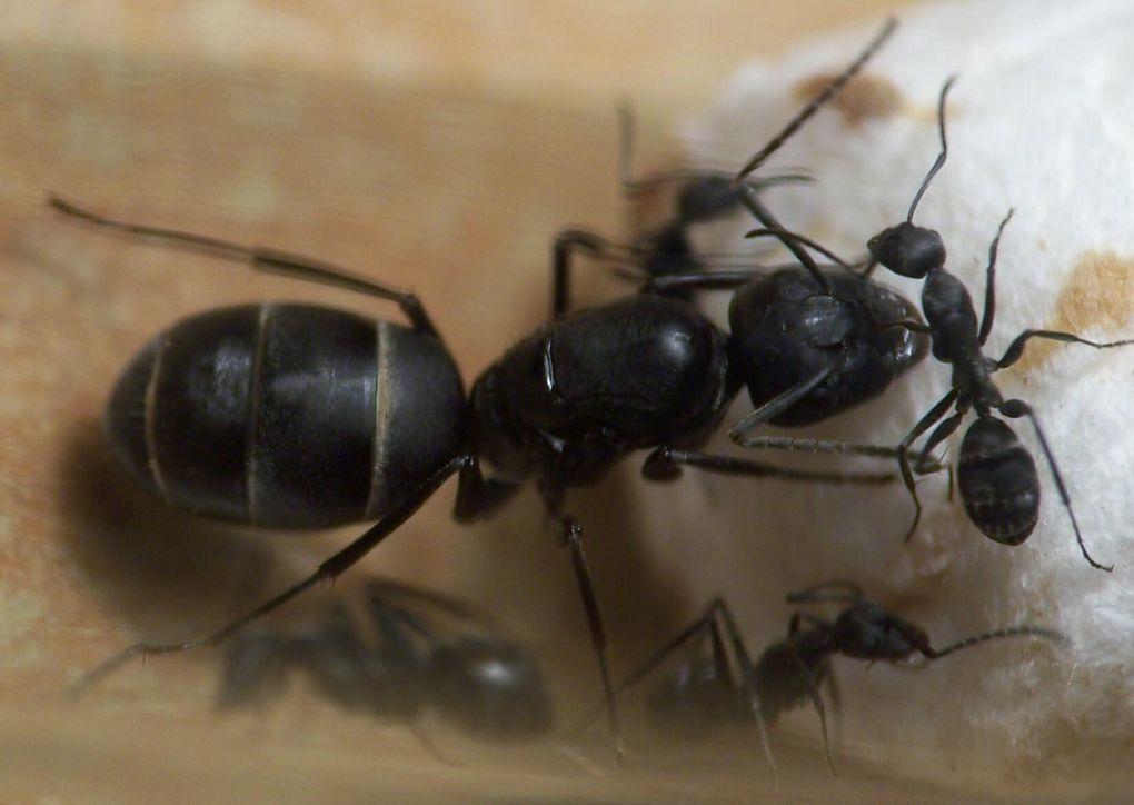 Album - Camponotus-micans
