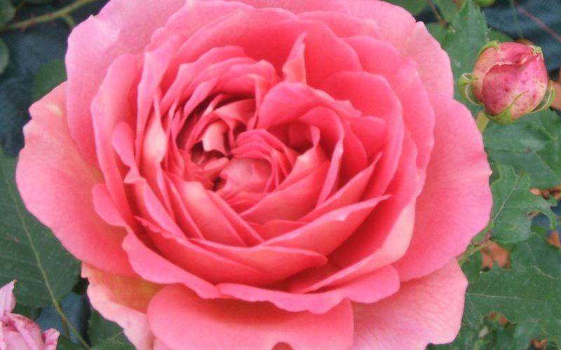 Nouvelle page: les rosiers anglais (et rétros)