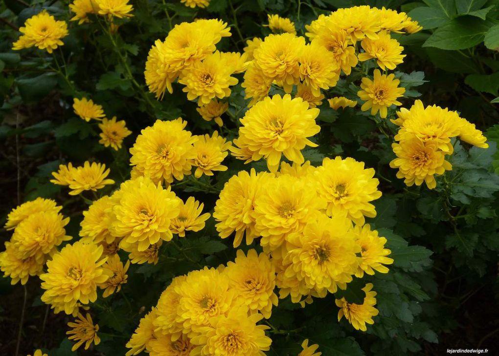 Chrysanthème des fleuristes- Chrysanthemum hortorum