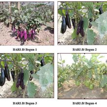 Performance socio-économique de la culture de l'aubergine Bt au Bangladesh : ex-tra-or-di-nai-re