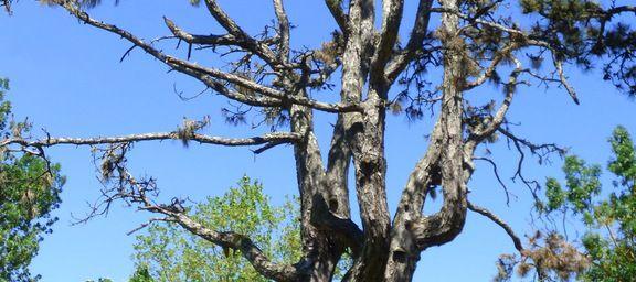 L'arbre, dans toute sa splendeur.